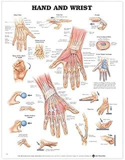 Amazon.com: Anatomy and Injuries of the Hand and Wrist Anatomical ...