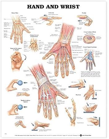 Amazon Hand And Wrist Anatomical Chart Anatomical Chart