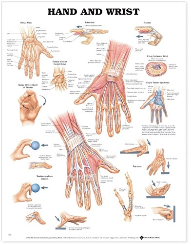Amazon Hand And Wrist Anatomical Chart Anatomical Chart