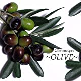 Olive Tree Ancient Tree Olea Europaea Arbequina Live Potd Plant