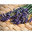 Herb Lavender Munstead Type D943A (Purple) 200 Open Pollinated Seeds by David's Garden Seeds