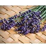 David's Garden Seeds Herb Lavender Munstead Type D943A (Purple) 200 Open Pollinated Seeds