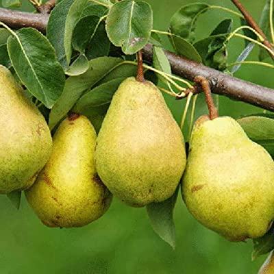 Cutdek 10 Cuttings of Kieffer Pear Trees for Propagation Cold Hardy : Garden & Outdoor
