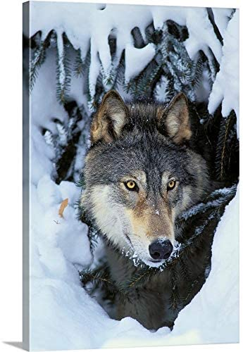 Gray Wolf orTimber Wolf Canvas Wall Art Print