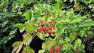 Cranberry, American HIGHBUSH, Berries Viburnum trilobum, 30 Seeds! US USA