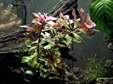 Dark Red Ludwigia - 2 Bunches - Large Live Aquarium Plant by Aquatic Arts