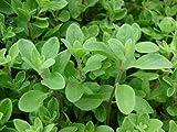 Sweet Marjoram Herb 200-10,000 Seeds Origanum Majorana Za'atar Bulk Culinary