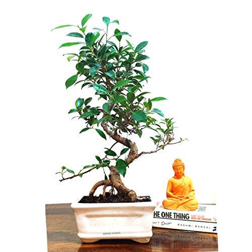 Abana Homes Air Purifying Bonsai Plants with Ceramic Pot