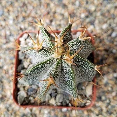 Live Plant - Astrophytum Ornatum Metztitlan Cactus Cacti Succulent Real Live Succulent Plant for Decoration #RR08 : Garden & Outdoor
