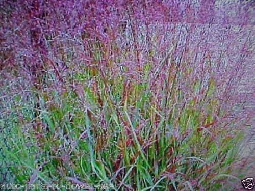 Prairie FIRE RED Switch Grass Textured Plant ()