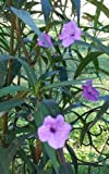 Mexican Petunia (Ruellia simplex) Plant Purple Flowers 10 + rootable stems