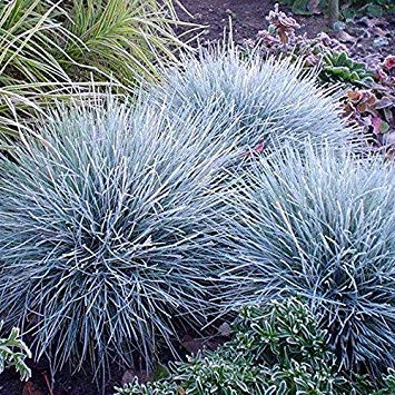 (100Pcs Blue Fescue Grass Seeds Perennial Hardy Ornamental Grass Home Garden )