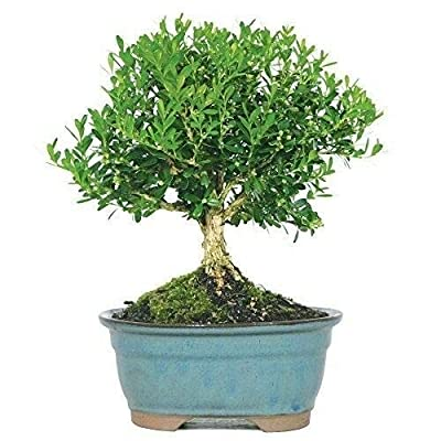 Bonsai Harland Boxwood Tree Beautiful Plant 3 Years Indoors or Outside Best Gift: Garden & Outdoor