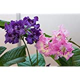 Portal Cool Cape Primrose 30 Samen (Streptocarpus Mix) Perennial, Blooms for 6 Months