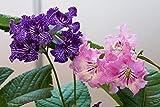 Cape Primrose 30 samen (streptocarpus Mix) Perennial, Blooms for 6 Months