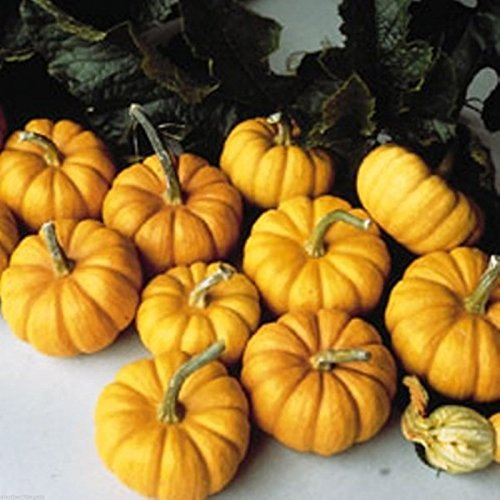 MUNCHKIN PUMPKIN 15 SEED PERFECT FALL DECORATION COMBINE WITH OTHER 3-4 IN MINIS