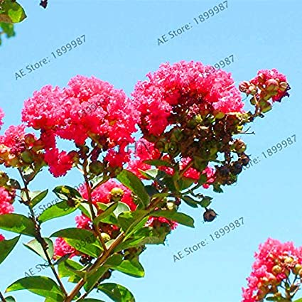 Amazon.com: 107 Pcs/Bag Bonsai Potted Plant Mixed Colors Crape Myrtle Tree Flores Flower Plantas Bonsai Plant Home Garden: Cell Phones & Accessories