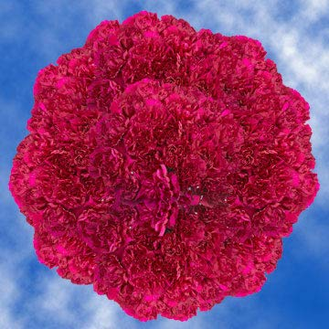 GlobalRose 400 Fresh Cut Purple Carnations - Fresh Flowers Wholesale Express Delivery by GlobalRose (Image #4)
