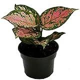 American Plant Exchange Aglaonema Chinese Evergreen
