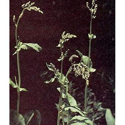 Herb Seeds - Sorrel Garden Seeds : Garden & Outdoor [5Bkhe1902203]