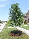 1 BALD CYPRESS TREE- (Taxodiun distichun)