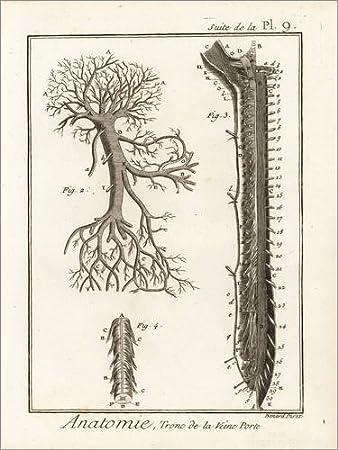 Posterlounge Alu Dibond 60 x 80 cm: Stamm der Pfortader von Robert ...