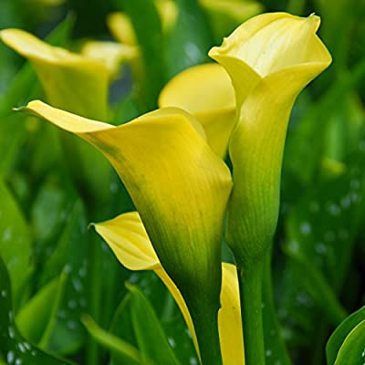 Yellow Calla Lily Gold Rush (3 Bulbs - Not Just Seeds!) Zantedeschia Tubers - Gorgeous!