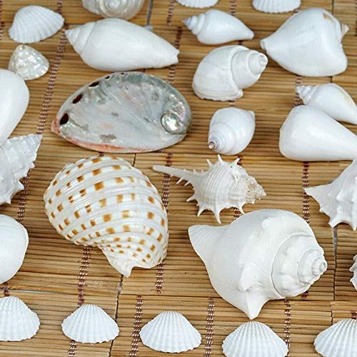 (Mikash Tropical Mix SEA Shells in a Gift Box Wedding Favors Centerpiece Decorations | Model WDDNGDCRTN - 17433 | 12 Gift Boxes)