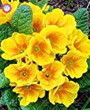 Shopmeeko 100PCS Oenothera biennis Plant Bonsai Flower Plant Evening Primrose Can Extraction of Essential Oil Aromatic Plant Plant