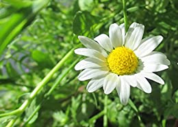 Leucanthemum vulgare known as ox-eye daisy is a widespread flowering plant.
