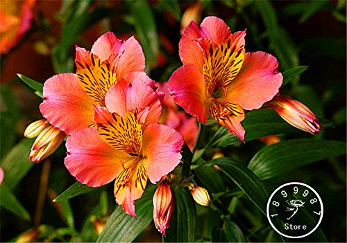 Seed 100 Pieces/Bag Time-Limit!!Peruvian Lily Easy to Grow Potted Flowers for Home Garden Flower Bonsai
