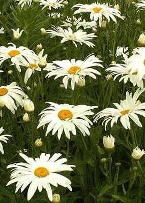 Shasta Daisy - Alaska (Chrysanthemum maximum), 750 Certified Pure Live Seed, True Native Seed
