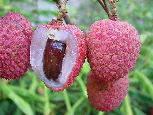 Kaimana Lychee - Tropical Fruit Trees - 2 Feet Tall (Lychee Plant)