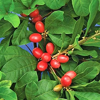 MIRACLE FRUIT @@ Synsepalum dulcificum rare tropical exotic berry edible 3 SEEDS : Garden & Outdoor