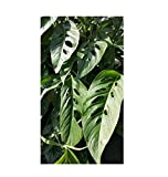 6 Leaves Swiss Cheese Monstera Plant 4' Pot Tropical Vines Perennials ANS16