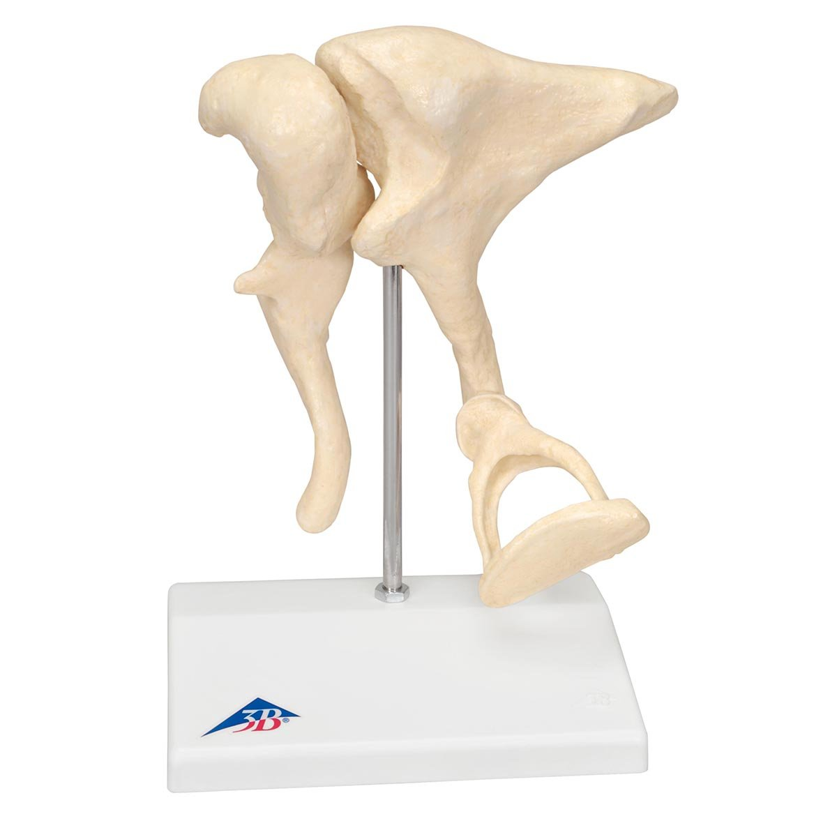 3B Scientific E12 Modelo de anatomí a humana Modelo del Oí do Para el Escritorio, 1,5 Veces Su Tamañ o Natu 5 Veces Su Tamaño Natu 3B Scientific GmbH