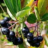 Black Chokeberry Bush Seeds (ARONIA melanocarpa) 30+Seeds