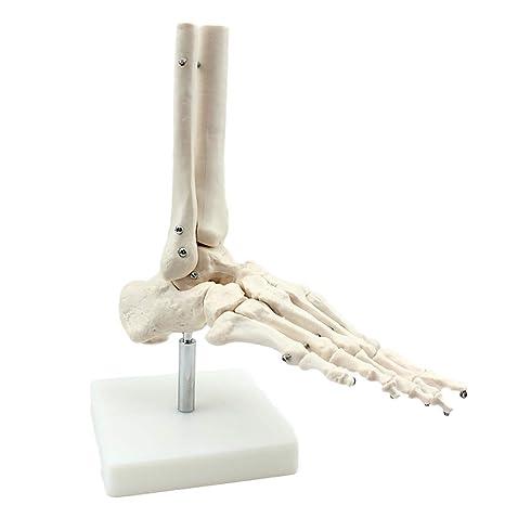 Akakk Human Modelo De Articulación Del Tobillo Humano Hueso
