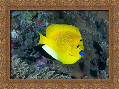 Indonesia Three spot Angelfish Swims amid Coral 24x18 Gold Ornate Wood Framed Canvas Art by Shimlock, Jones