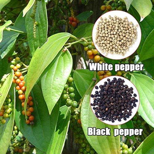 YiiLs-30Pcs Pepper Seeds Spice Seasoning Cash Crop Garden Field Farm Plantation Plant - Black Pepper Seeds