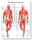 The muscle system e-chart: Quick reference guide