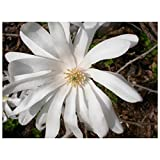 """owzoneplant 3 Plants in 3.5"""" Pots Royal Star Magnolia Tree - Flowering White Blooms Rooted"""