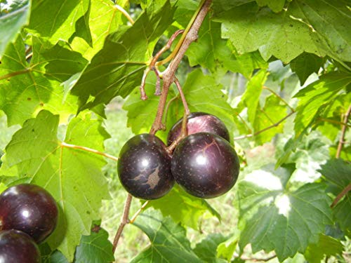 (1 Gallon) JUMBO Muscadine Grape Vine, Black fruits are very large in size. One of the largest Black Muscadines. High yields, good flavor.