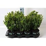 Buchsbaum 40cm +/- Buxus Sempervirens Bux Buchs