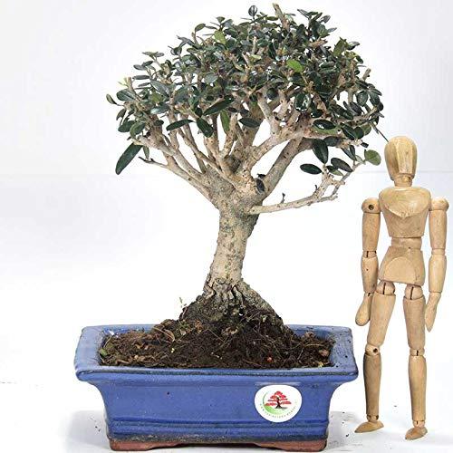Olive Tree Bonsai Olea Sylvestris Buy Online In Antigua And Barbuda At Desertcart Productid 60438194