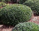 Dwarf Yaupon Holly ( ilex vomitoria ) - Live Plant - Trade Gallon Pot