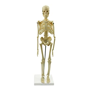 Anatomical Skeleton Human Model Stand Poster Medical Learn Aid
