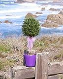 """Live Rosemary Single Ball Topiary - 17"""" Rosemary Standard"""