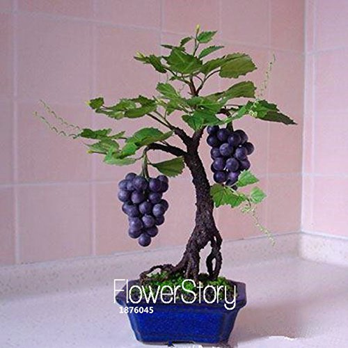 New Seeds 2015!Miniature Grape Vine Seeds, PATIO SYRAH, Vitis Vinifera, Houseplant, 50 PCS/Pack, Fruit bonsai seeds,#13BG80