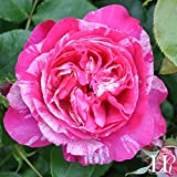 Own-Root One Gallon Raspberry Cream Twirl Climbing Rose by Heirloom Roses